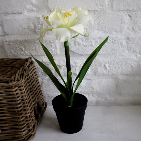 Amaryllis In Black Pot